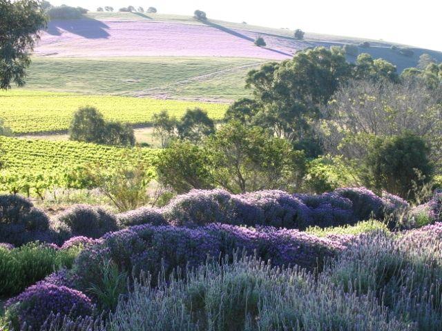 lyndoch-lavender-farm-43